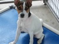 Jack Russell Terrier I WON'T BE AT PETCO UNTIL AUGUST