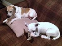 Jack Russell Terrier LIL BIT and FIFI are sisters. Lil