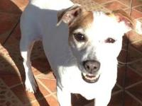 Jack Russell Terrier ** NEED A FOSTER OR ADOPTER NOW!
