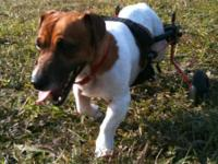 Jack Russell Terrier THIS IS LUCY - she is going on 7