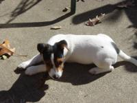 """Buster"" is a young Jack Russell Terrier 3 1/2 months"