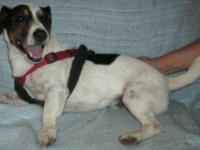 Jack Russell Terrier TEDDY is an adorable, sweet and