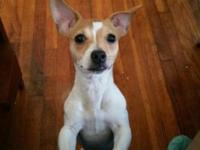 I am the most adorable female Jack Russell terrier that