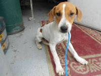 Jack Russell Terrier - Angie - Small - Adult - Female -