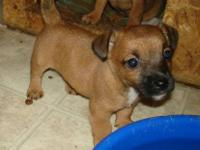 Jack Russell Terrier - Aris - Small - Baby - Female -