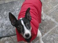 Jack Russell Terrier - Aspen - Small - Adult - Female -