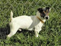 Jack Russell Terrier - 'bandit' - Small - Young - Male