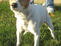 Jack Russell Terrier - Bart - Small - Young - Male -