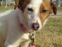 Jack Russell Terrier - Baxter - Small - Adult - Male -