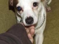 Jack Russell Terrier - Beebs - Small - Adult - Female -