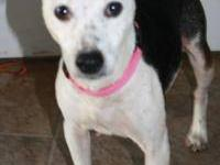 Jack Russell Terrier - Bella - Small - Adult - Female -