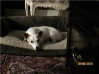 Jack Russell Terrier - Benny - Small - Adult - Male -