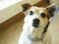 Jack Russell Terrier - Birdie - Medium - Senior -