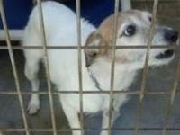 Jack Russell Terrier - Bosko - Small - Adult - Male -