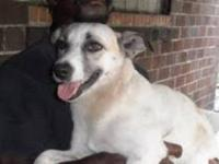 Jack Russell Terrier - Calli - Small - Adult - Female -