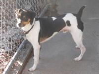 Jack Russell Terrier - Charlie - Medium - Adult - Male