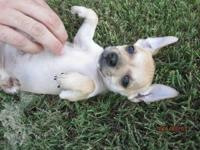 Mom is jack Russell terrier that is 13 lbs Dad is 6lb