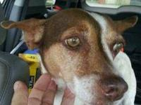 Jack Russell Terrier - Chloe - Small - Adult - Female -