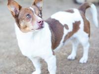 Jack Russell Terrier - Cowboy - Small - Adult - Male -
