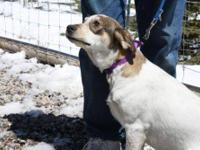 Jack Russell Terrier - Daisy - Medium - Young - Female