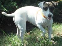 Jack Russell Terrier - Daisy - Small - Senior - Female