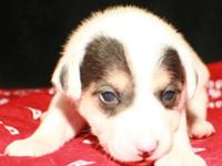 Jack Russell Terrier - Dana - Small - Young - Female -