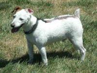Jack Russell Terrier - Dodger - Small - Senior - Male -