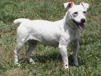 Jack Russell Terrier - Dotty - Small - Adult - Female -