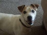 Jack Russell Terrier - Doughboy - Medium - Senior -