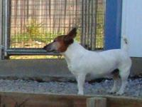 Jack Russell Terrier - Dudley - Small - Young - Male -