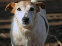 Jack Russell Terrier - Eddie - Small - Adult - Male -