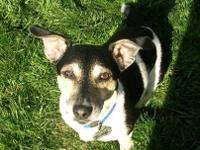 Jack Russell Terrier - Elijah - Small - Senior - Male -