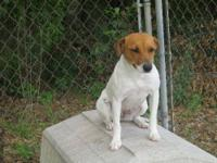 Jack Russell Terrier - Fancy - Medium - Adult - Female