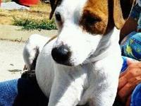 Jack Russell Terrier - Fantasia - Small - Adult -