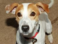 Jack Russell Terrier - Fraizer - Small - Young - Male -