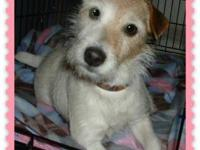 Jack Russell Terrier - Gracie - Medium - Senior -
