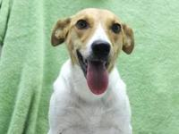Jack Russell Terrier - Gypsy - Medium - Young - Female