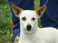 Jack Russell Terrier - Harley - Urgent! Blind! - Small