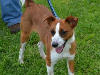 Jack Russell Terrier - Hendrix - Small - Adult - Male -