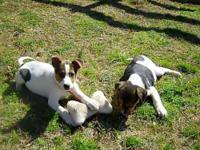 Jack Russell Terrier - Holly - Medium - Baby - Female -