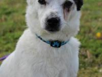 Jack Russell Terrier - Jack-5b58 - Large - Young - Male