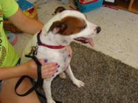 Jack Russell Terrier - Jack - Small - Adult - Male -