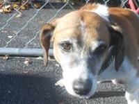 Jack Russell Terrier - Jack - Small - Senior - Male -