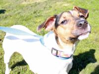 Jack Russell Terrier - Jack - Small - Young - Male -