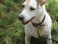 Jack Russell Terrier - Jackie - Small - Adult - Female