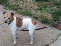 Jack Russell Terrier - Jake - Small - Adult - Male -