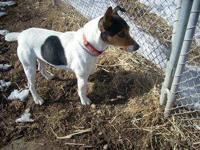 Jack Russell Terrier - Jimmy - Small - Adult - Male -