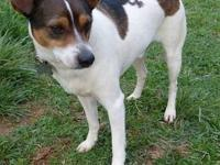 Jack Russell Terrier - Joebeans - Medium - Adult - Male