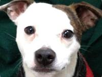 Jack Russell Terrier - Junior - Medium - Young - Male -