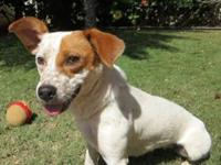 Jack Russell Terrier - Kaya - Small - Young - Male -